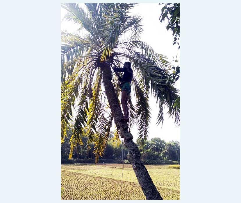 খেজুর গাছ হতে রস সংগ্রহে ব্যস্ত সংগ্রহকারী। ছবিটি গতকাল কুমিল্লা সদর দক্ষিণ উপজেলার বিজয়পুর গ্রাম হতে তোলা।